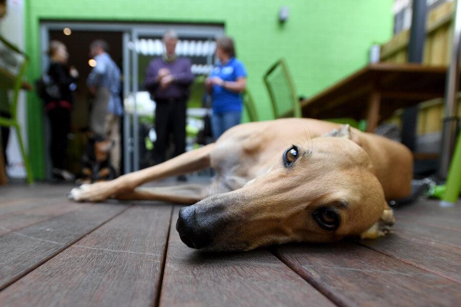 Ein Windhund liegt in einem Cafe, das zum Ziel hat, den Tierschutz im Hunderennsport zu verbessern. Das Cafe wurde von Renn- und Glücksspielminister Pakula gegründet und will ehemalige Rennhunde als Haustiere vermitteln.