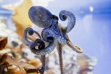 """Ein Krake in der Oktopoden-Themenwelt """"Oktopus Höhle"""", Timmendorfer Strand, in seinem Aquarium."""