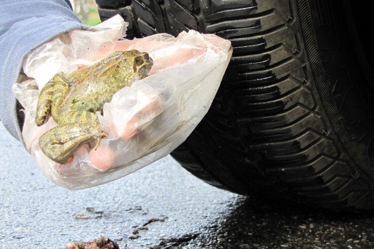 Kröten im Laichmodus benötigen für ihre Wanderung nachts wenigstens fünf Grad und Regen.