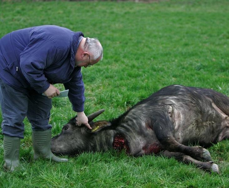 Auf einem Feld bei Bräunsdorf konnte um 18.57 Uhr ein Jäger den Büffel nach fast vierstündiger Verfolgungsjagd erlegen. Der Chef des Landgutes Chursdorf, Manfred Thiele (Foto), prüft die Marke im Ohr.