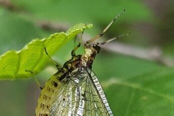 Die Eintagsfliege kann bis zu zehn Zentimeter groß werden.