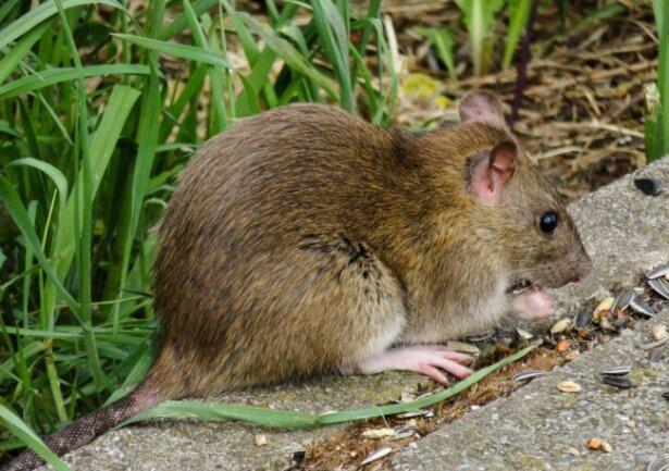 In der Innenstadt gibt es derzeit ein Problem mit Ratten. Hier ein Symbolfoto.