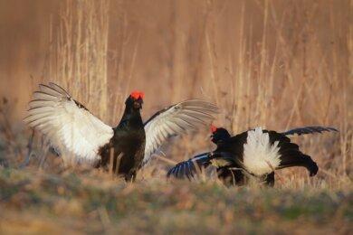 Zwei Birkhühner vollziehen Balzrituale auf einem Feld: In der Region gilt der Vogel als bedroht.