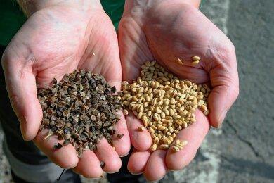 Sie ähneln sich nur im Namen: Die Früchte von Buchweizen (links) und von Weizen. Buchweizen gleicht eher Bucheckern.