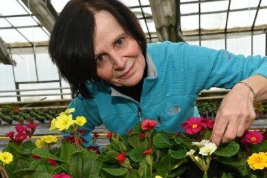 Frühlingsboten in der Gärtnerei Thiel in Langenhessen: Floristin Steffi Pfropper kümmert sich um die Bewässerung der Primeln.