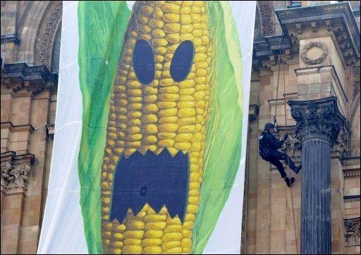 Das nun in Deutschland verhängte Verbot des Anbaus von Genmais hat vor allem einen symbolischen Charakter. Mit 3171 Hektar Anbaufläche im vergangenen Jahr spielte der Mais gegenüber herkömmlichen Sorten eine untergeordnete Rolle. Dafür ist die Entscheidung von Agrarministerin Ilse Aigner (CSU) aber ein Zeichen, dass sich Deutschland in Richtung der gegenüber der grünen Gentechnik kritischen EU-Staaten bewegt. Das Foto zeigt eine Protestaktion von Greenpeace gegen den Anbau von Genmais vor wenigen Tagen in München.