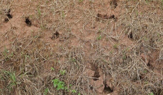 Mäuselöcher auf abgeernteten Feldern, hier auf Gersdorfer Flur, weisen auf größere Mauspopulationen hin.