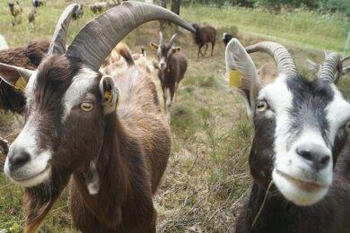 Ziegen und Schafe beweiden jetzt die frühere Schießanlage Weißbach, um diese langfristig zu erhalten.