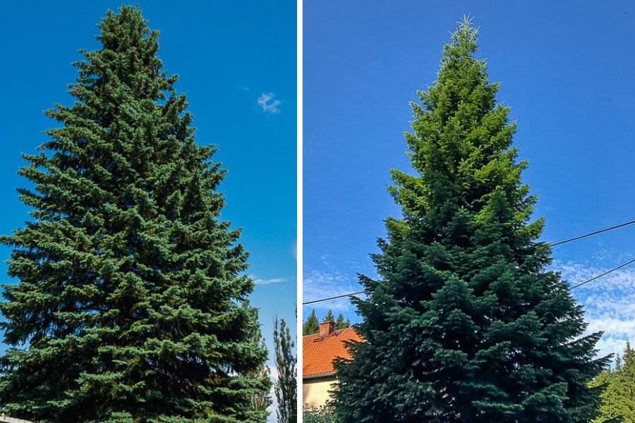 Baum A (l.) ist eine Blaufichte, Baum B eine Douglasie.