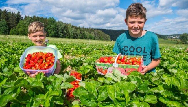 Körbe voller Erdbeeren haben Emil Wetzel (11, l.) und Bastian Schenker (11) am Dienstag auf dem Selbstpflück-Feld in Lauter gesammelt. Dieses ist erst seit kurzem geöffnet, zieht aber schon viele Erzgebirger an.