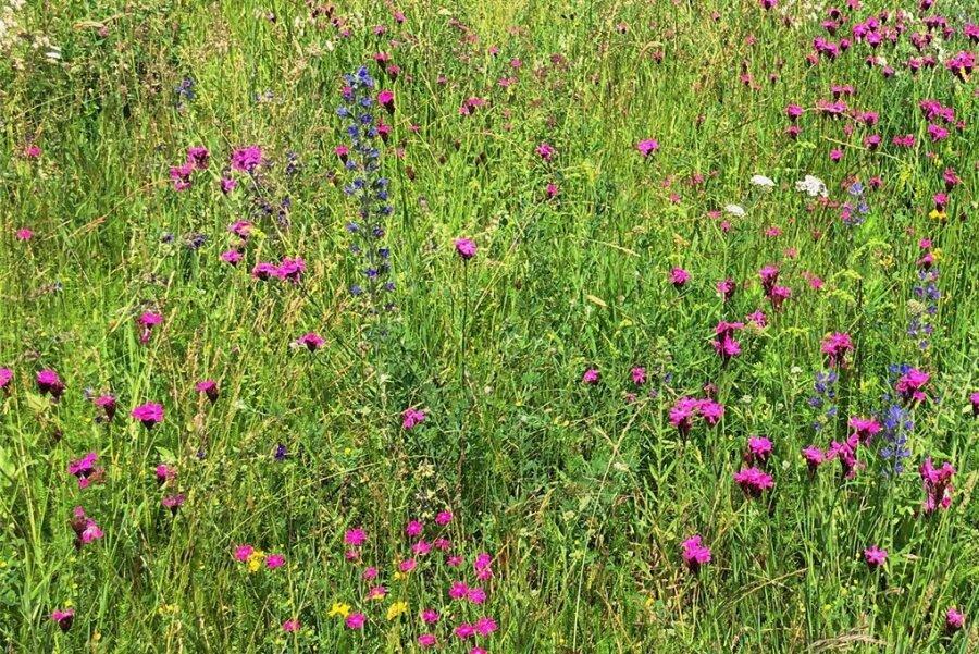 Die Kräuterwiese am Gradierwerk. 2020 wurden dort bei einer stichprobenartigen Kartierung 70 Pflanzenarten bestimmt.
