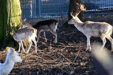 Oft war Damhirsch Hubert mit den Hirschkühen im Gehege nah am Zaun zu sehen. Nun ist Hubert tot.