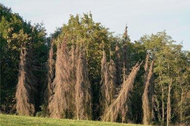 Abgestorbene Nadelbäume stehen an einem Waldstück bei Rochlitz. 35 Prozent der Bäume im Freistaat sind deutlich geschädigt.