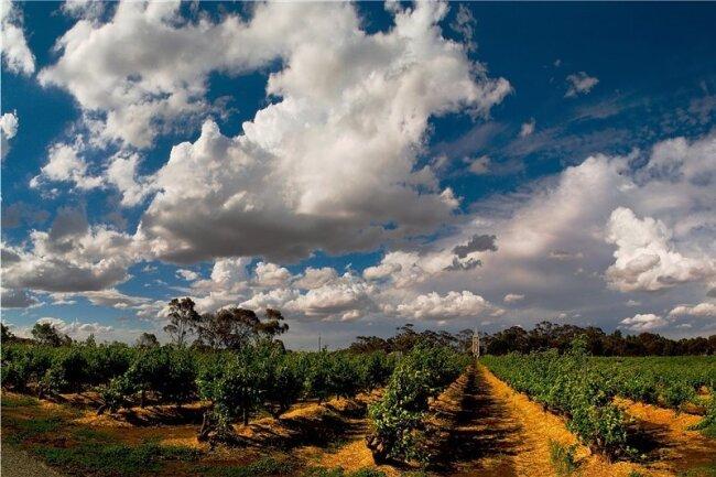 Im Barossa Valley werden jedes Jahr bis zu 80.000 Tonnen Trauben geerntet - und verarbeitet.