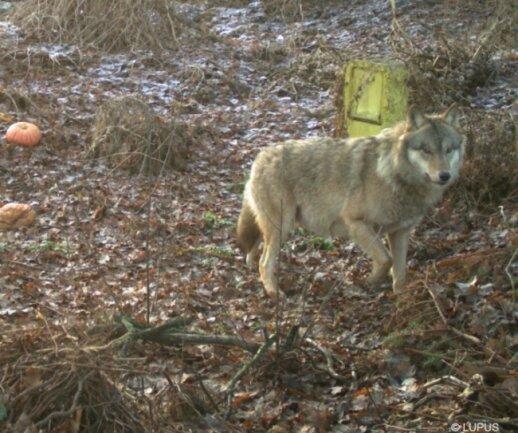 Wolf Pumpack aus dem Ruszow-Rudel tappte in Ostsachsen mehrfach in Fotofallen.