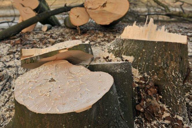 Baumfällen leicht gemacht: Streit um Gesetz