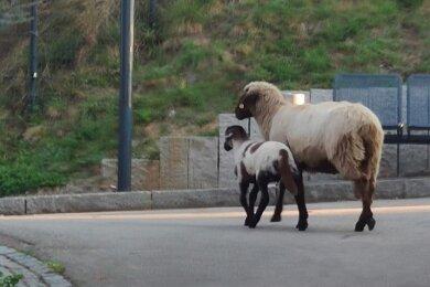 Die Beamten entdeckten das Schaf und sein Lamm auf einer Wiese in Höhe des Schulsportplatzes in Wilkau-Haßlau.