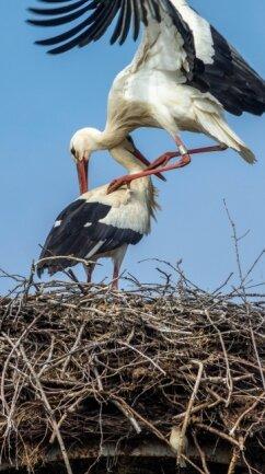 Die Störche sind in Rochlitz zurück, hier das Nest im Ortsteil Penna.