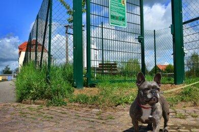 Auch die französische Bulldogge Dalinka hat die neue Hundewiese n Mittweida schon entdeckt.