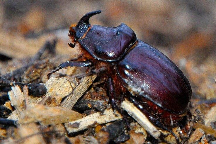 """Weil die BUND-Ortsgruppe diesen seltenen Käfer im Ortsteil entdeckt hat, nennt sie sich scherzhaft auch """"Nashornkäferfraktion""""."""