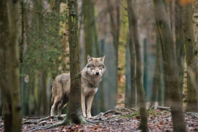 Ein Wolf hat am Montagmorgen auf einer Koppel im Neukirchener Ortsteil Lauterbach mehrere Schafe gerissen.