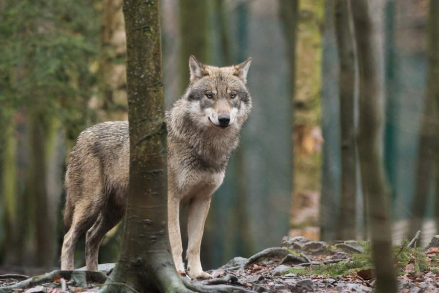 Abschuss nach Wolfsrissen soll erleichtert werden