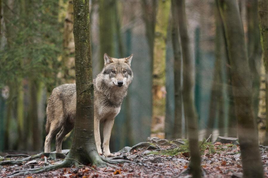 Seelitz: Frau überfährt Wolf