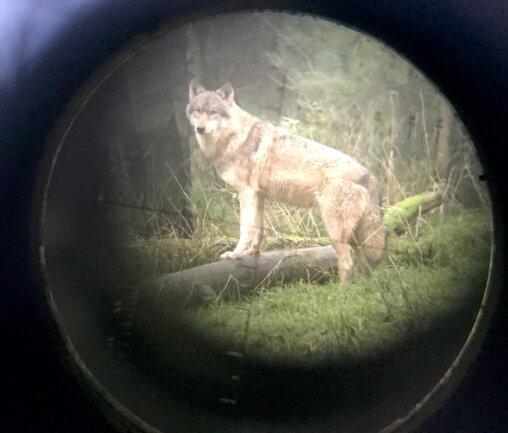 Wann darf der Wolf geschossen werden? Um diese Frage ist eine Debatte entbrannt.