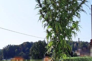 Die vier Meter hohe Cannabispflanze wuchs auf einem Grundstück in Mittweida.