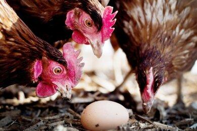 Damit das Vogelgrippe-Virus nicht in Tierbestände eindringen kann, treffen die Züchter umfangreiche Schutzvorkehrungen. In betroffenen Regionen gibt es behördliche Auflagen.