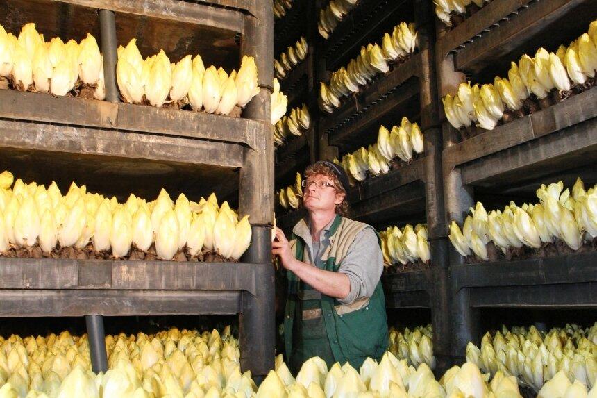 Chicorée, wie hier in einem dunklen Treibraum in Klinga bei Leipzig, gedeiht auch ohne Licht. Er bildet dann eben kein Chlorophyll und wenig Bitterstoffe.