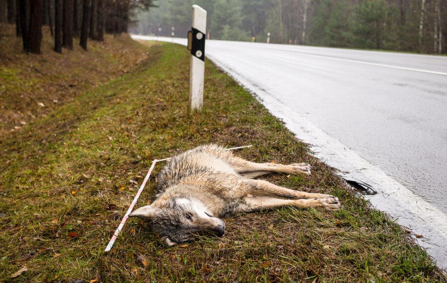 Wie gefährlich ist der Mensch für den Wolf?