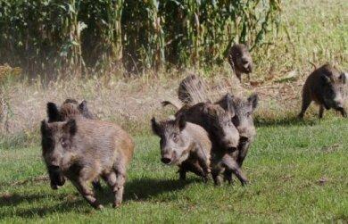 Im Schweinsgalopp: Wildschweine wie diese hier in Werdau suchen derzeit das Stadtgebiet von Frankenberg heim.