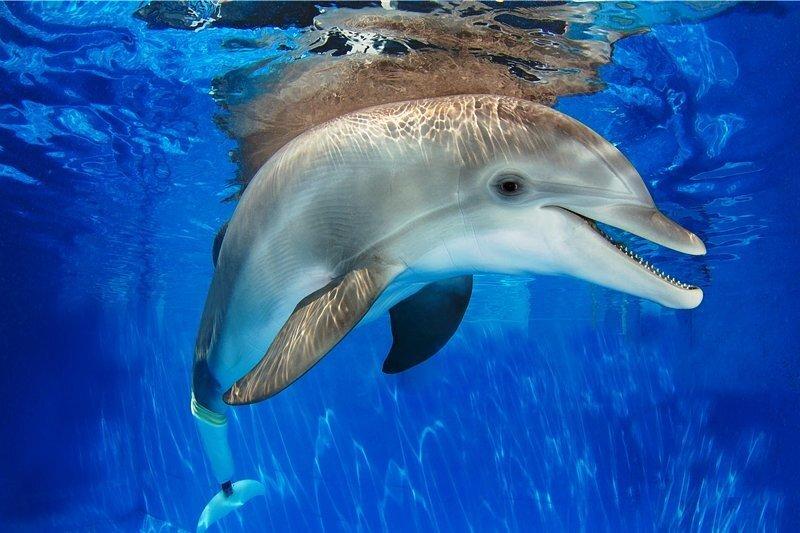 Delfindame Winter verlor ihre Schwanzflosse. Jetzt schwimmt sie mit einer Prothese.