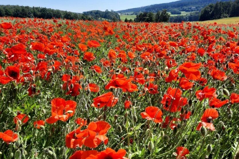 Rote Augenweide: Spaziergänger erfreut - Landwirte verärgert
