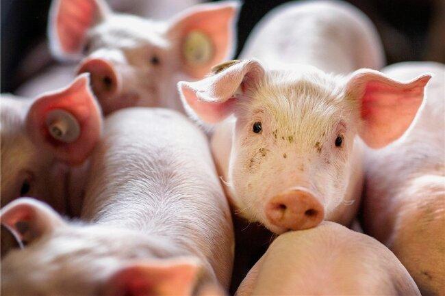 Ferkel im Stall: Bislang wurden viele männliche Tiere ohne Betäubung kastriert. Dies ist ab Januar nun verboten.