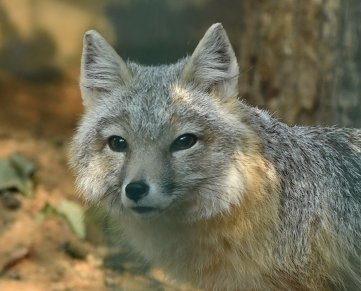Einer der beiden Swiftfüchse im Tierpark. In freier Wildbahn sind die Tiere im mittleren Westen der USA beheimatet.