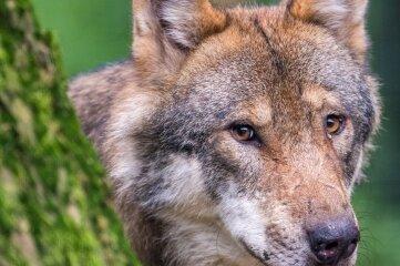 Ein Wolf soll ein Schaf in Deutschneudorf gerissen haben.