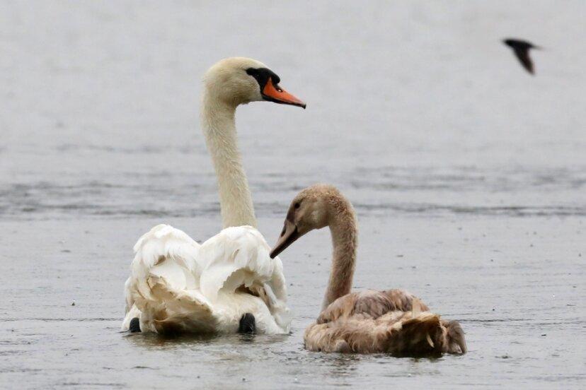 Nach überstandener Operation und Genesung konnte der Schwan am Montagnachmittag mit seinem Jungen wieder auf dem Stausee in Glauchau schwimmen.