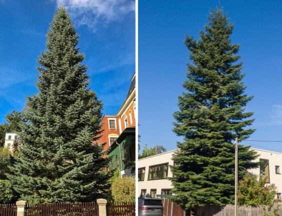 Die beiden Kandidaten für den Zwickauer Weihnachtsmarkt: Eine Colorado-Tanne (links) und eine Douglasie (rechts).