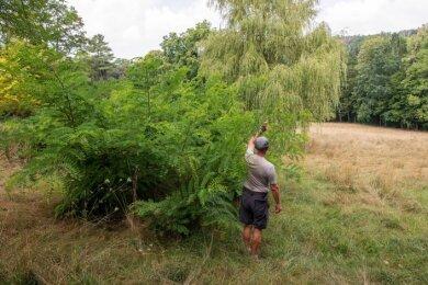 Im Schlosspark Wechselburg nimmt der Wildwuchs zu, die Wiesen sind in diesem Jahr noch nicht gemäht worden.