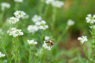 Eine Biene sitzt in einem Wildblumenbeet. Auch Elsterberg will mehr für den Insektenschutz tun.
