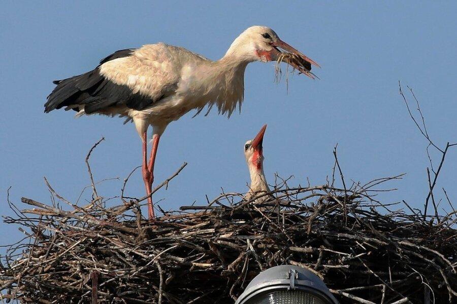 In Glauchau brütet ein zweites Storchenpaar