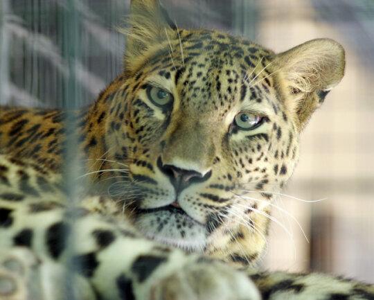Das Leopardenweibchen Cleopatra hat einen 56 Jahre alten Pfleger schwer verletzt. Vor elf Jahren hatte das Tier bereits eine 23-jährige Pflegerin getötet.