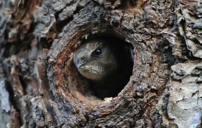 Der Mauersegler schaut aus dem Loch eines Kirschbaumes, der in einem Garten in der Innenstadt von Hohenstein-Ernstthal steht.