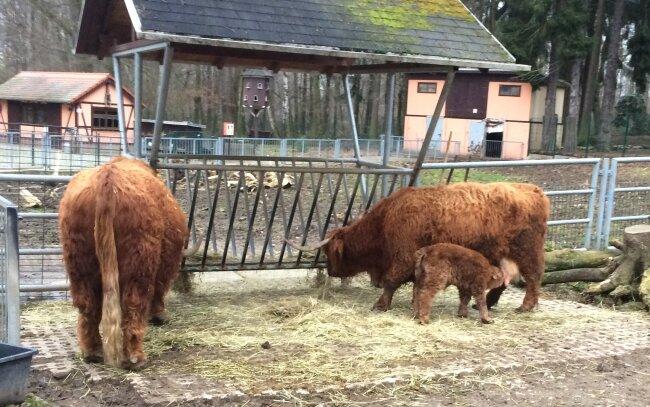 Pfleger entdeckten das neugeborene Schottische Hochlandrind am Samstagmorgen.