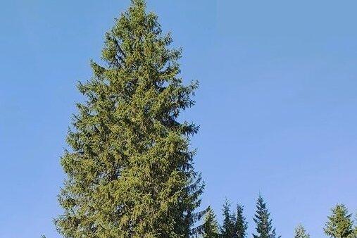 Dieser Baum, der derzeit noch im Forstbezirk Adorf steht, soll am 6. November auf dem Chemnitzer Markt aufgestellt werden.