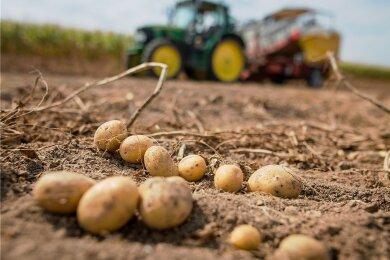 Ob die Kartoffeln bei der Ernte im Spätsommer und Herbst dieses Jahres so gut aussehen werden wie auf diesem Archivbild, ist derzeit noch nicht absehbar. Denn ihre Aussaat verzögert sich.