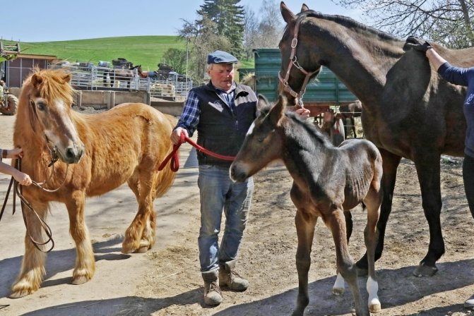 So klein und schon Onkel: Pferdezüchter freut sich über Fohlen