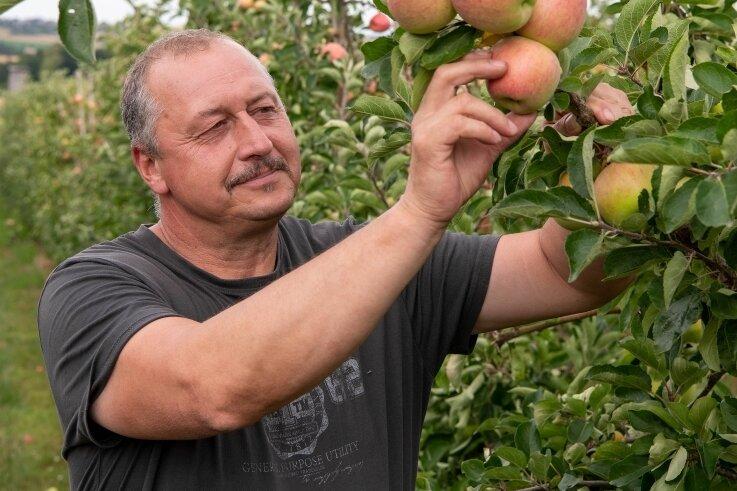 Chef Heiko Hübler prüft im Obstgut Seelitz auf einer Plantage Äpfel der SortePiros.